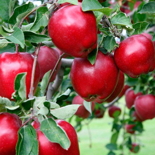 Manzanas rojas (Supertomate - Tienda online)