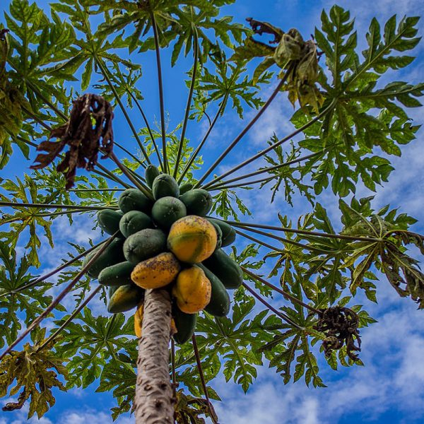 Papaya (Supertomate - Tienda online)