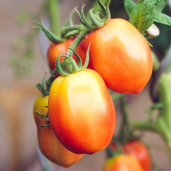 Tomates pera (Supertomate - Tienda online)